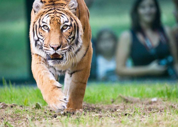 Un tigre au parc zoologique de Thoiry