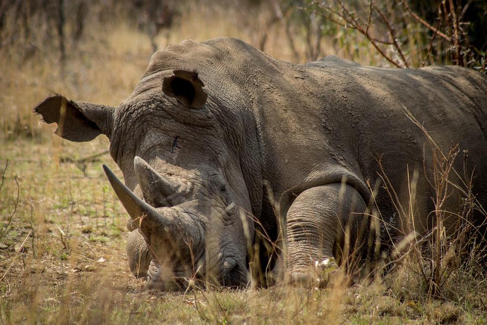 rhino-1322550_960_720